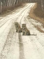 «По горячим следам»: тигрята вышли на трассу в Приморье
